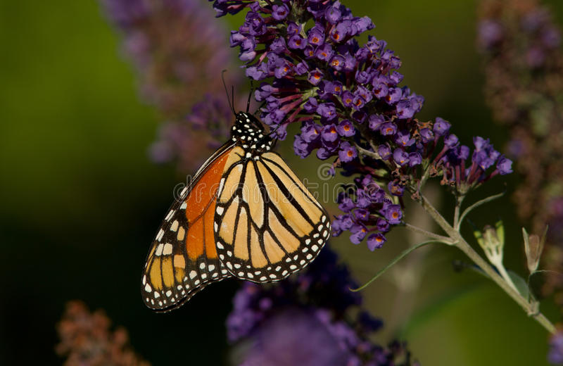 Download Monarch butterfly stock photo. Image of flower, clover - 26223078