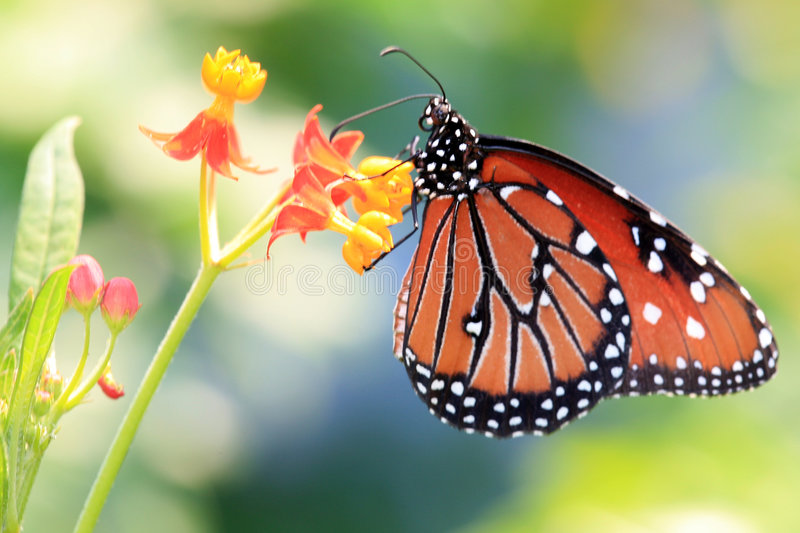 Monarch butterfly. On a small flower royalty free stock photos