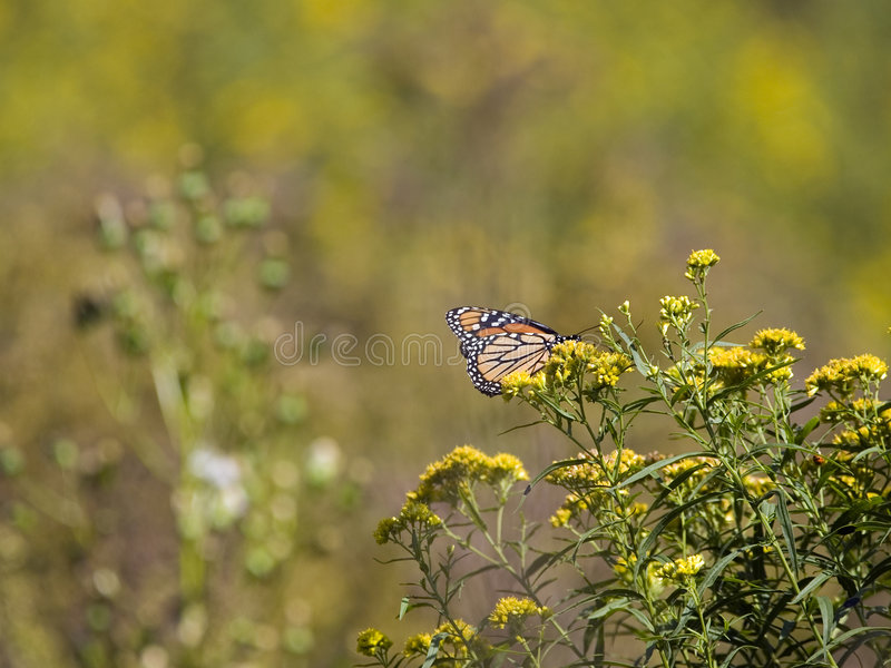 Monarch butterfly royalty free stock photography