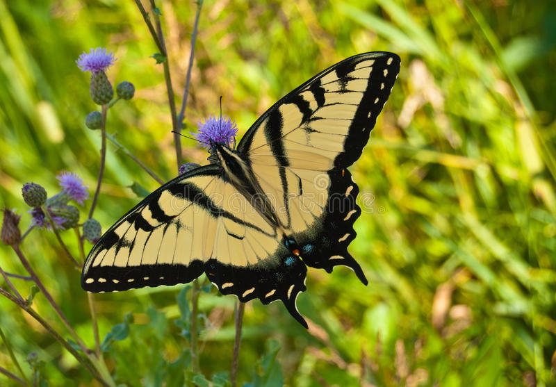 Download Monarch butterfly stock photo. Image of colorful, butterfly - 28804728