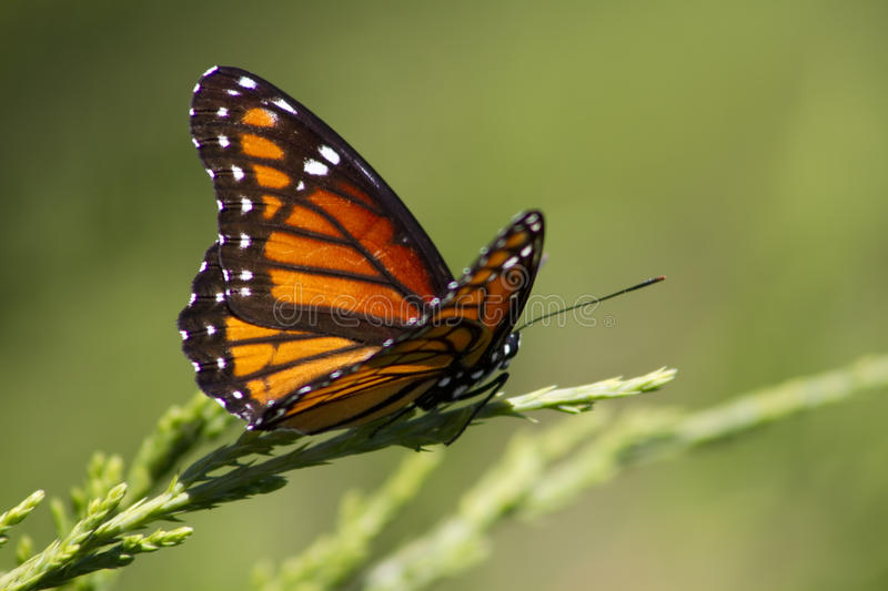 Monarch Butterfly 3 - Danaus plexippus. This is a colorful orange, black, blue, and white monarch butterfly, Danaus plexippus, sitting on a juniper bush stock photo