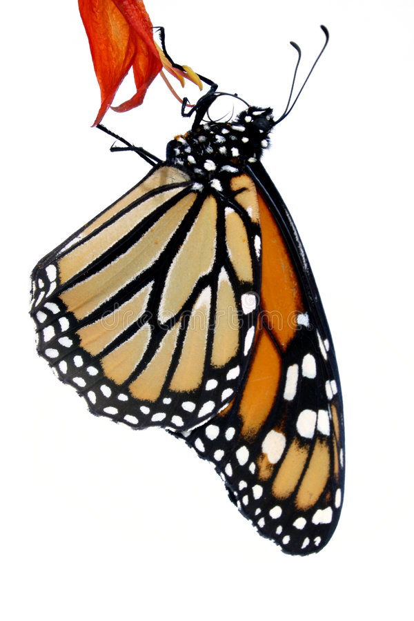 Free Monarch Butterfly Stock Photos - 312443
