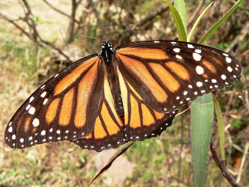 Monarch butterfly. Beautyfull monarch butterfly in santuario Mariposa Monarca Mexico stock photos