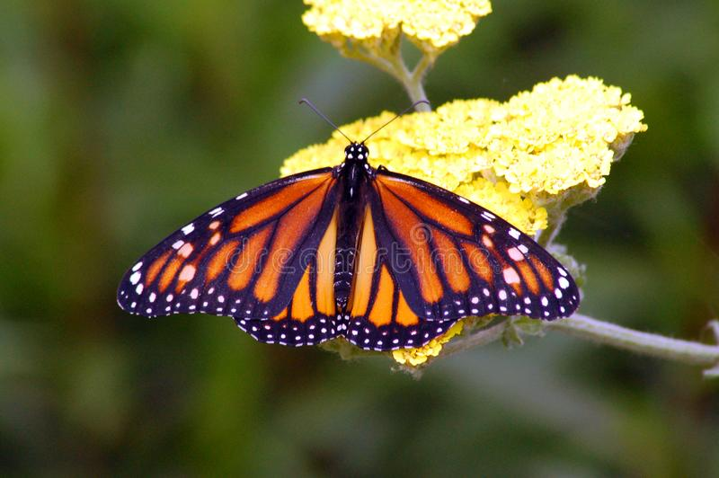 Monarch Butterfly Free Stock Photo