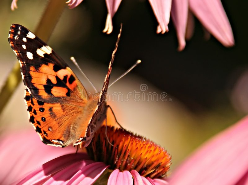 Monarch butterfly. On a cone flower stock photo