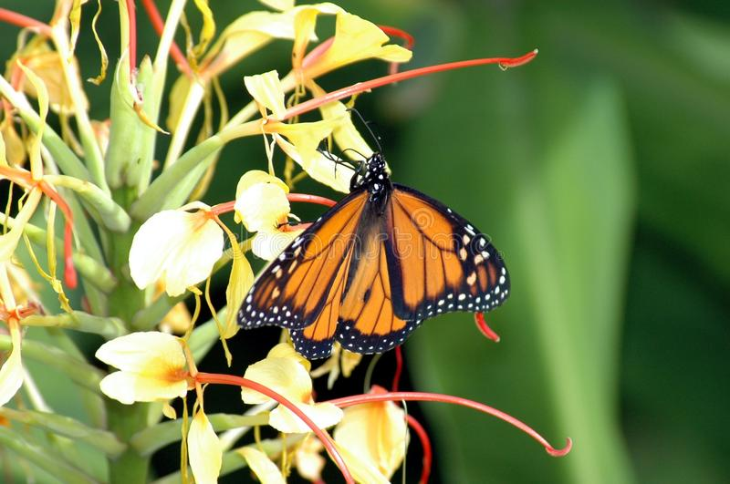 Monarch Butterfly Stock Images