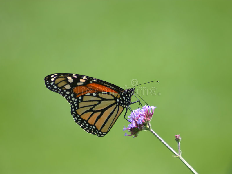Monarch Butterfly. On a purple flower royalty free stock photography