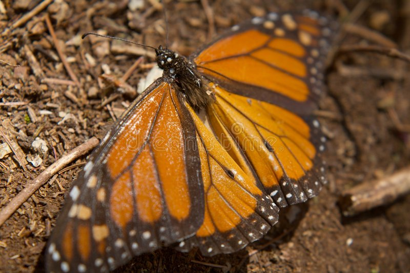 Download Monarch Butterfly stock photo. Image of beautiful, insect - 8322706