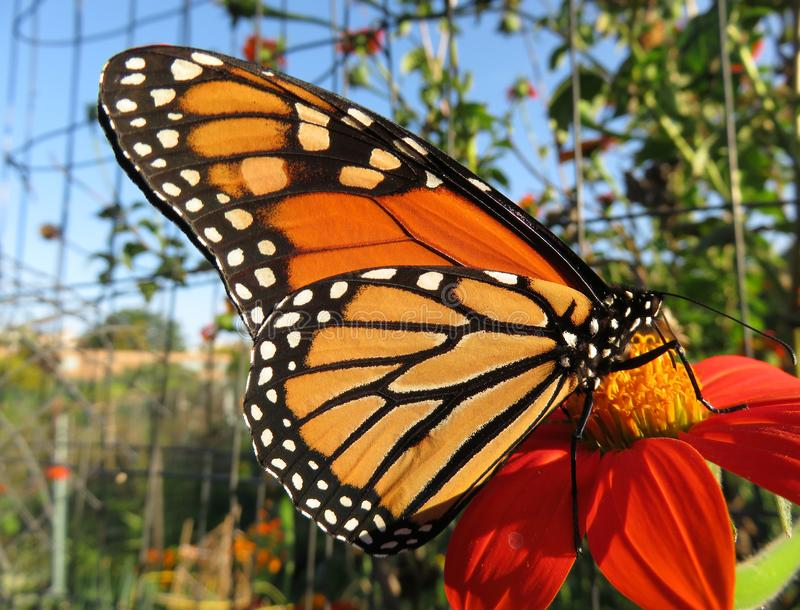 Monarch Butterfly in Afternoon Light royalty free stock photography