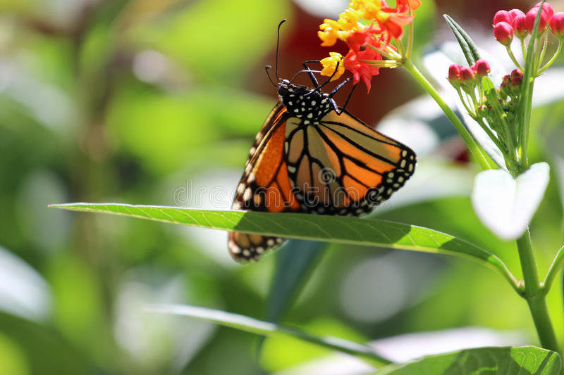 Monarch butterfly. A Monarch butterfly aggressively feeding on flowers royalty free stock photo