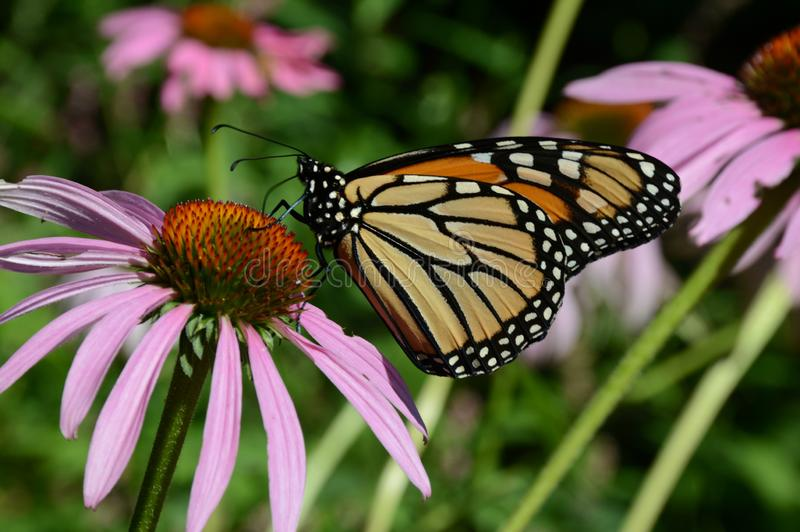 Monarch Butterfly Alighted On Purple Blossom stock photo