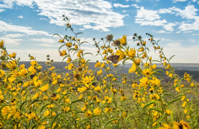 Monarch butterfly alit on yellow flowers on a windy day stock photo