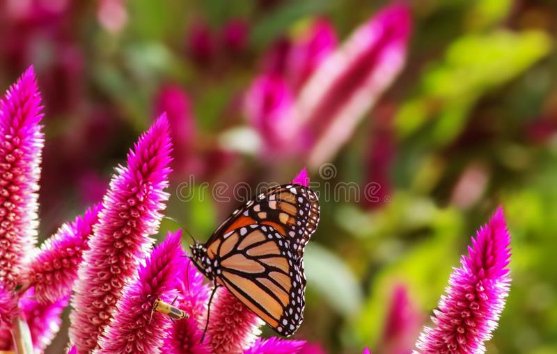Monarch butterfly and another bug on pink spikey flowers with blurred background - vivid colors. A Monarch butterfly and another bug on pink spikey flowers with stock photo