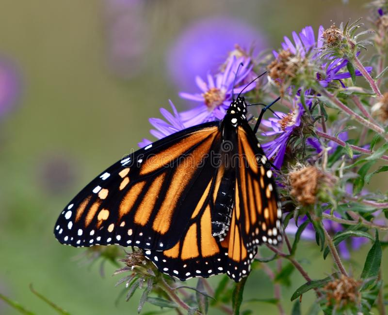 Monarch Butterfly on Aster Flowers royalty free stock photos