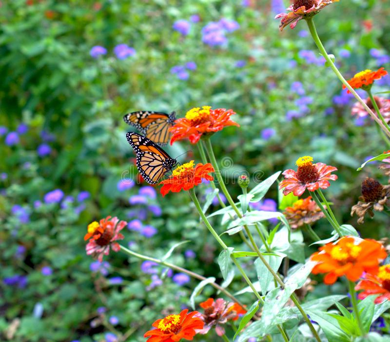 Monarch butterfly. Beautiful monarch butterfly drifting from flower to flower to sip some nectar royalty free stock image