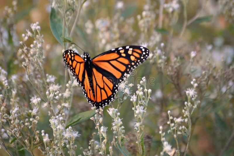 Monarch butterfly beauty 2018. Monarch butterfly in a green and tan field of flowers and weeds stock photos