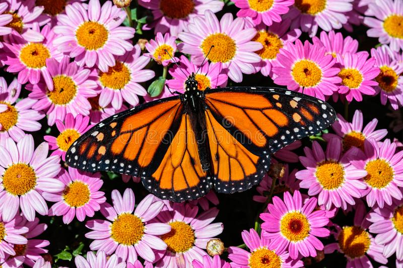 Monarch butterfly bed of pink flowers stock images