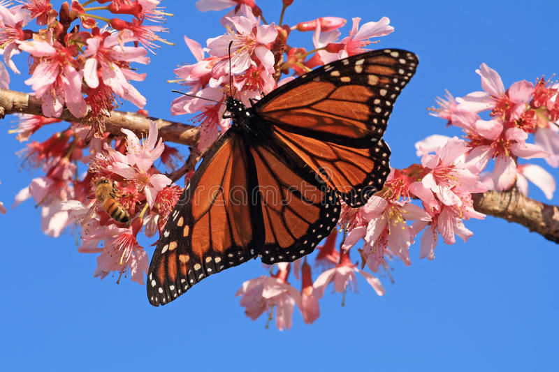Download Monarch Butterfly And Bee On Blossom Stock Photo - Image: 26392896