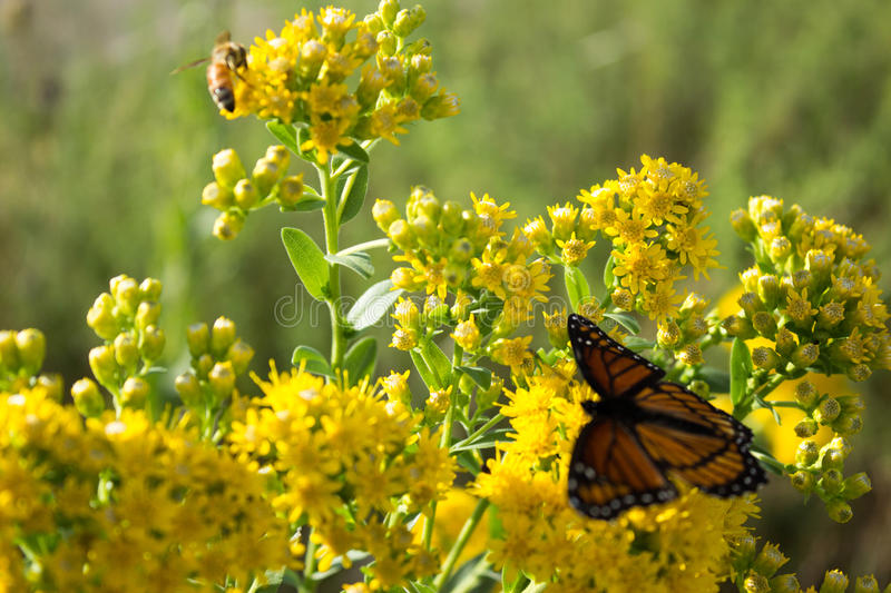 Monarch Butterfly and Bee royalty free stock photography