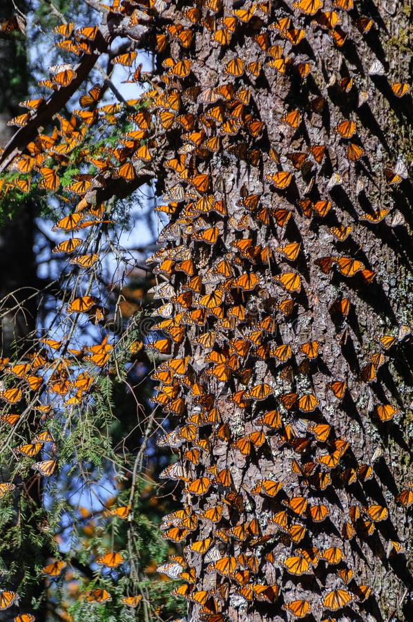 Monarch Butterfly Biosphere Reserve, Mexico stock images
