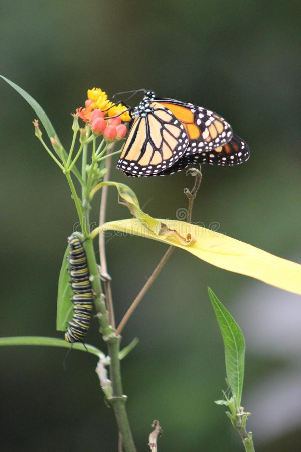 Monarch butterfly in bloom with Larva. In Winter in Mexico royalty free stock photo