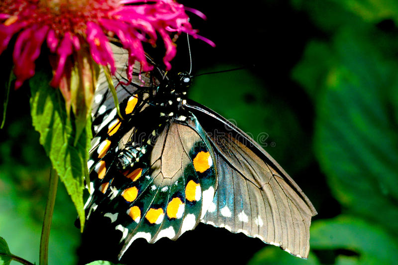 Monarch butterfly. With blue and gold wings nesting on a red flower royalty free stock photos