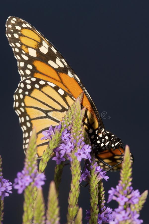 Monarch butterfly on blue vervain flowers in New Hampshire. stock image