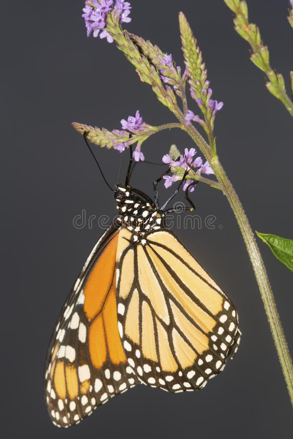 Monarch butterfly on blue vervain flowers in New Hampshire. stock images