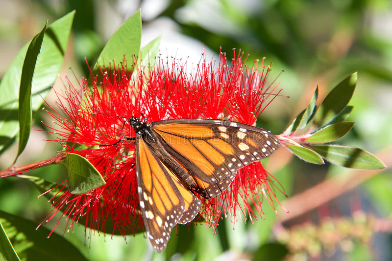 Monarch Butterfly on bottle brush flower royalty free stock images