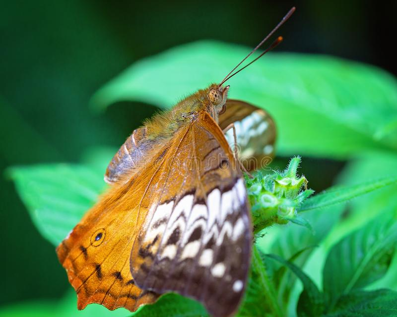 Monarch Butterfly In A Breeding Aviary. A Monarch butterfly alighted on a green plant in the garden stock photography