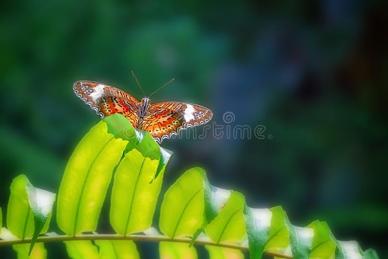 Monarch Butterfly In A Breeding Aviary royalty free stock image