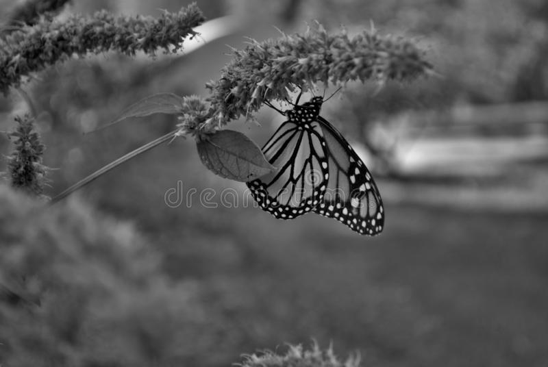 Black and wite Monarch butterfly with a broken wing on a blue Veronica flower stock images