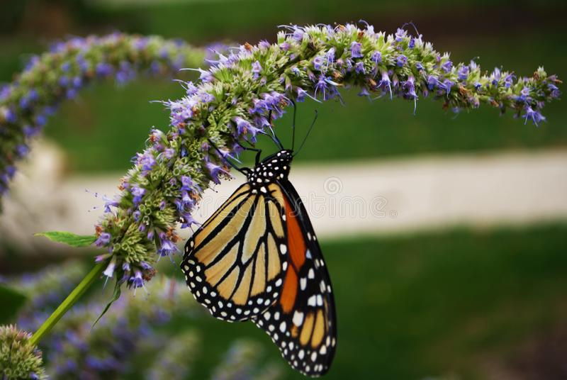 Close up of a Monarch butterfly with a broken wing on a blue Veronica flower royalty free stock photo