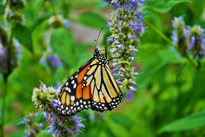 Close up of a Monarch butterfly with a broken wing on a blue Veronica flower stock images