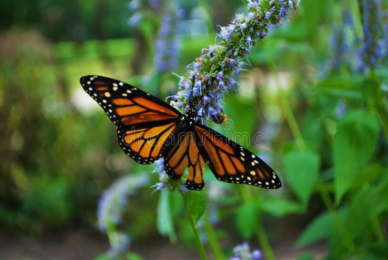 Monarch butterfly with a broken wing and wings spread on a blue Veronica flower stock photography