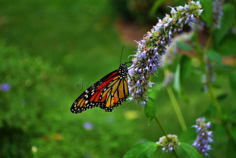 Side view of a Monarch butterfly with a broken wing on a blue Veronica flower royalty free stock images