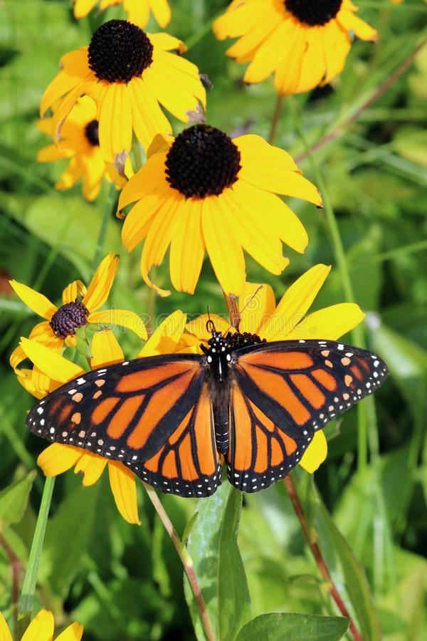 Monarch Butterfly on Brown-Eyed Susan with spread wings royalty free stock photos