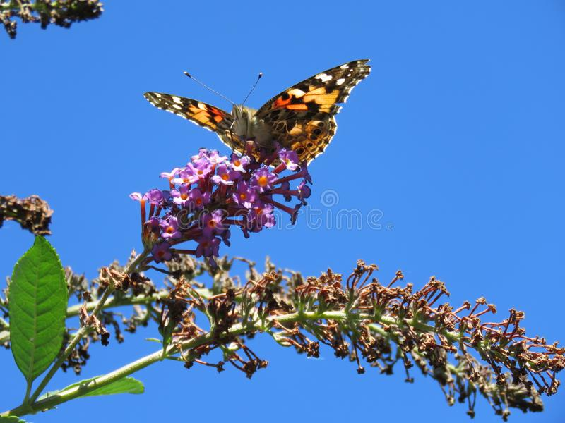 Monarch on a Butterfly Bush royalty free stock photo