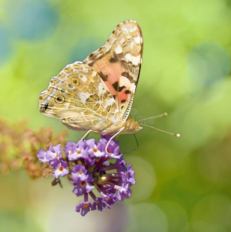 Monarch butterfly on butterfly bush. Close up of a monarch butterfly on butterfly bush royalty free stock photo
