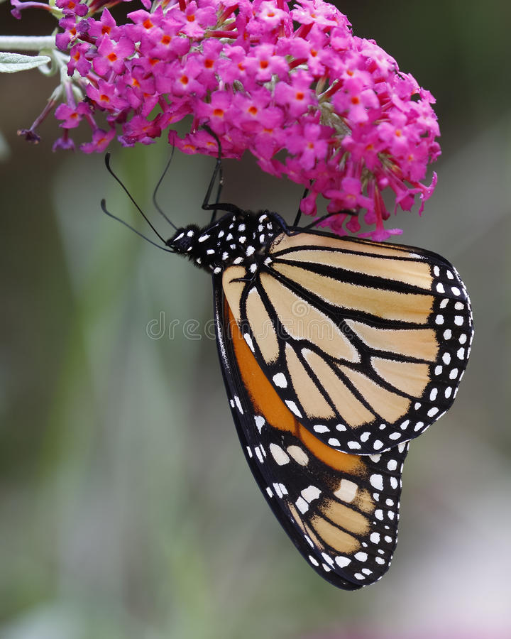Monarch Butterfly on a Butterfly Bush. Monarch Butterfly (Danaus plexippus) Feeding on Nectar From a Butterfly Bush - Ontario, Canada royalty free stock photo