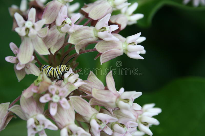 Monarch Butterfly Caterpilar on Milkweed. A monarch butterfly caterpillar feeding on common milkweed flowers in Littlefork, MN royalty free stock photography