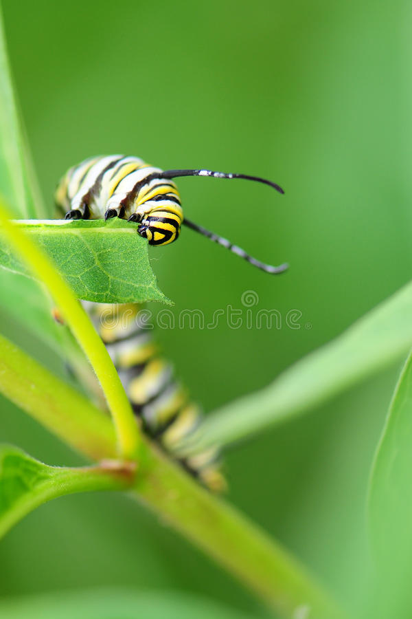 Free Monarch Butterfly Caterpillar Royalty Free Stock Photo - 21281825
