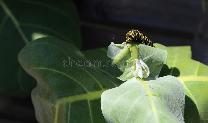 Monarch Butterfly Caterpillar (Danaus plexippus). Close-up of a Monarch Butterfly Caterpillar feeding on the leaf of a milkweed plant royalty free stock photo