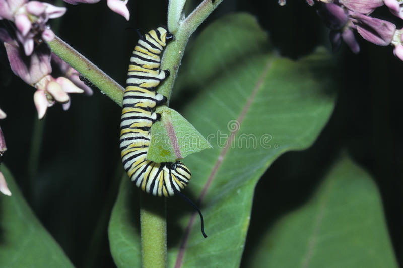 Monarch Butterfly Caterpillar. Dining on Milkweed Plant. How butterfly gets toxins. Connetquot River State Park, New York stock photo