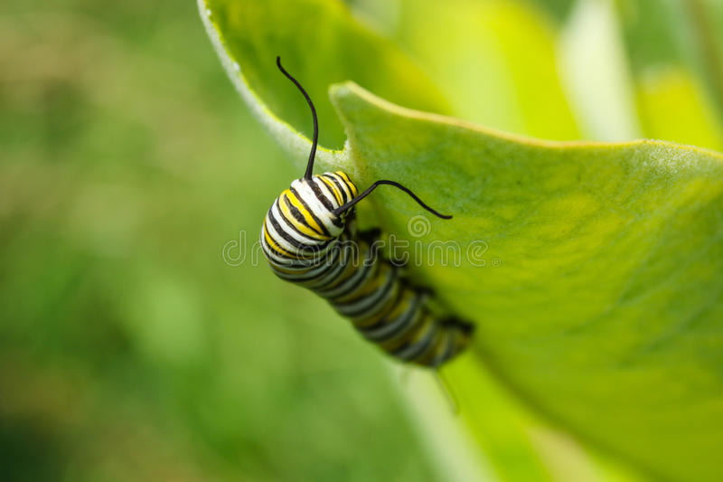 Monarch Butterfly Caterpillar Larvae. Monarch butterfly caterpillar feeds on a milkweed plant royalty free stock photos