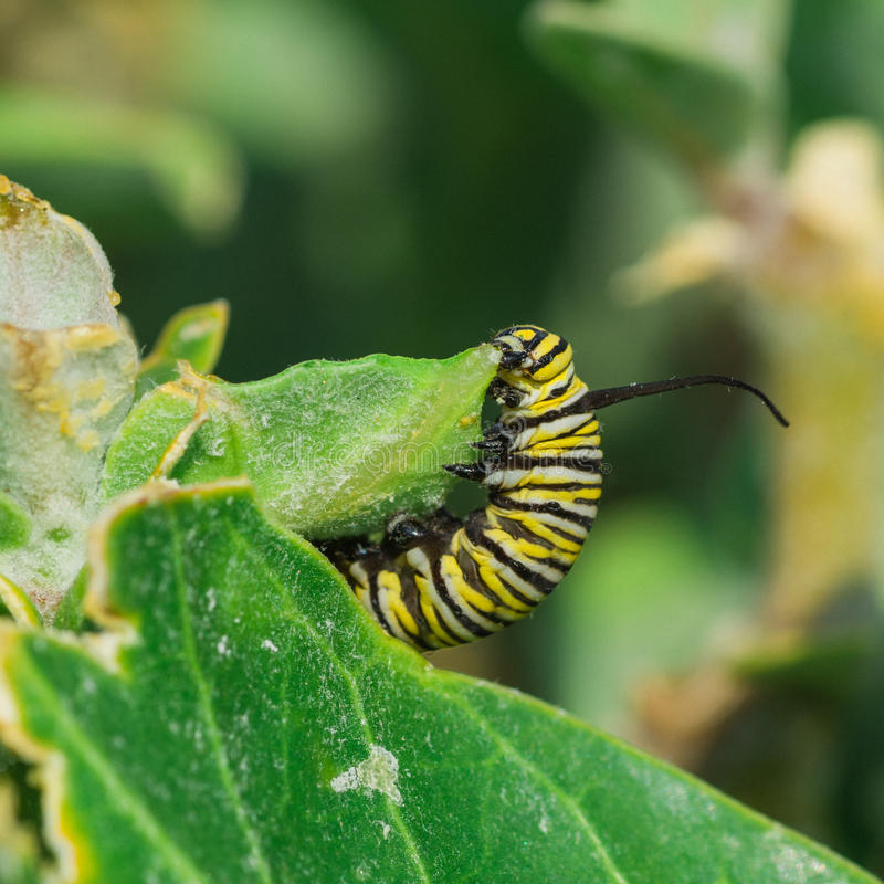 Download Monarch Butterfly Caterpillar Stock Image - Image of hawaii, garden: 63190665