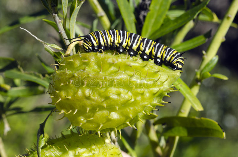 Monarch butterfly caterpillar royalty free stock image
