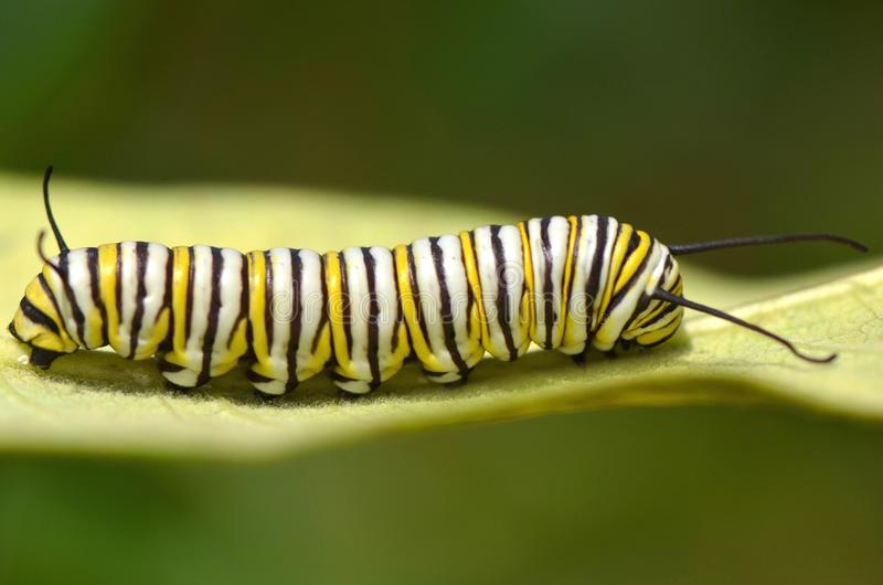 Monarch Butterfly Caterpillar, Danaus plexippus. A monarch butterfly caterpillar on a milkweed leaf royalty free stock photo