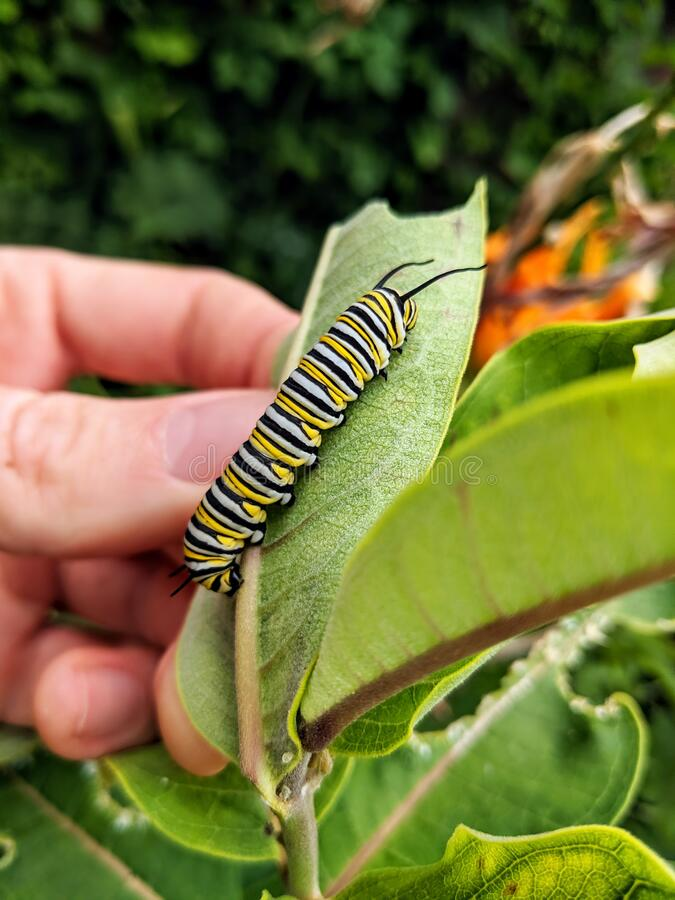 A monarch butterfly caterpillar on a milkweed plant leaf. royalty free stock image