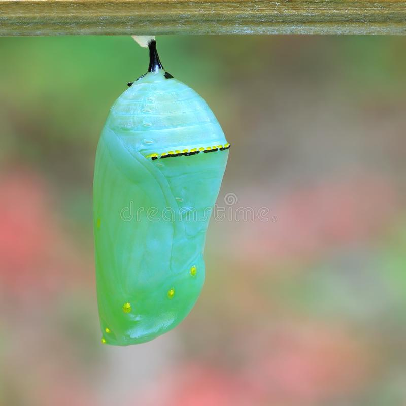 Monarch Butterfly Chrysalis stock images